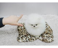 cuccioli bella Pomerania / Pomerania