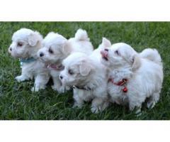 cuccioli maltese carino in vendita