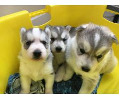 Adorable cuccioli di Siberian husky,