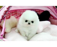 adorabile cuccioli di Pomerania