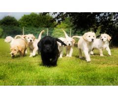 Cuccioli Labrador dolci