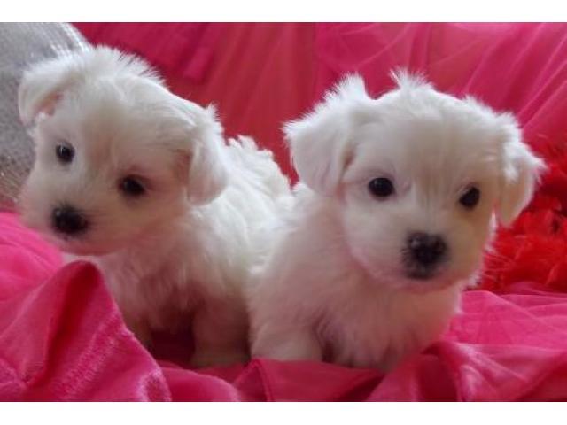 REAGLO Cuccioli di Maltese taglia piccola