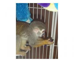 Scimmie scoiattolo dolci disponibili.