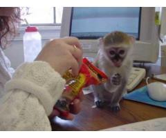 due scimmie cappuccino per l'adozione bello gratis