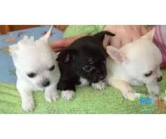 Chihuahua minnies