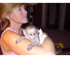 Bel maschio e femmina cappuccini scimmie disponibili per l'adozione