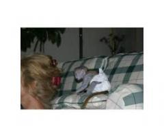 Sano cappuccini scimmie per l'adozione