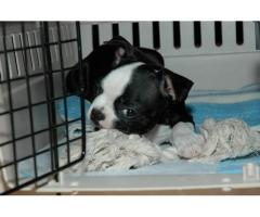 Fantastic black & white terrier di Boston per la famiglia
