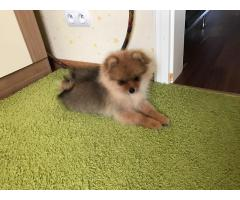 Cuccioli meravigliosi Pomerania per la vendita