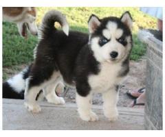 Cuccioli di Akita in vendita