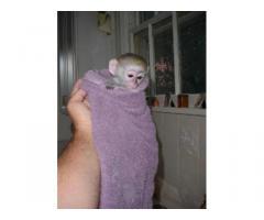 Scimmie splendide del cappuccino del bambino per l'adozione libera