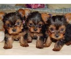 Lindo Yorkie cachorros