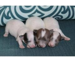Chihuahua cuccioli per la vendita