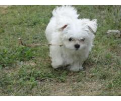 Piccoli cuccioli maltesi