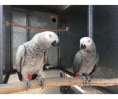 Pappagallo grigio africano in vendita