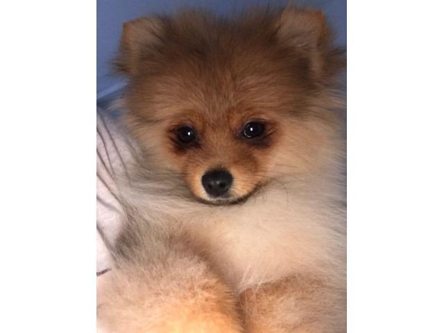 Belli cuccioli di Pomerania disponibili