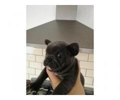 bulldog francés listo para adopción