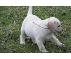 Simpatici cuccioli di labrador in vendita