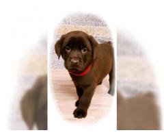 Simpatici cuccioli di labrador retriever disponibili