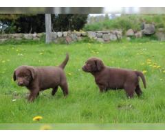 Stupende cuccioli di Larador