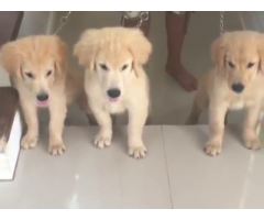 Altri 5 cuccioli di golden retriever registrati per la vendita