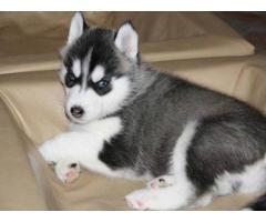 Cuccioli di Siberian Husky per casa libera.