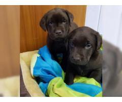 Cuccioli di Typisch labrador con documenti