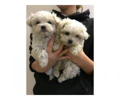 Adorable Teacup Maltese Puppies