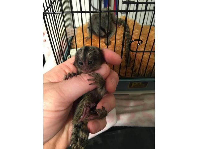 Scimmie Marmoset per l'adozione.