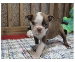 Amabili Boston Terrier cuccioli in cerca di nuove case