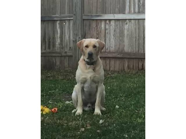 AKC Labrador Retriever Stud For Hire (Barrigada Heights)