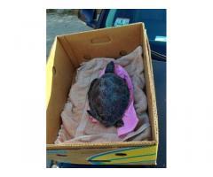 tartaruga disponibile in vendita al prezzo di offerta,