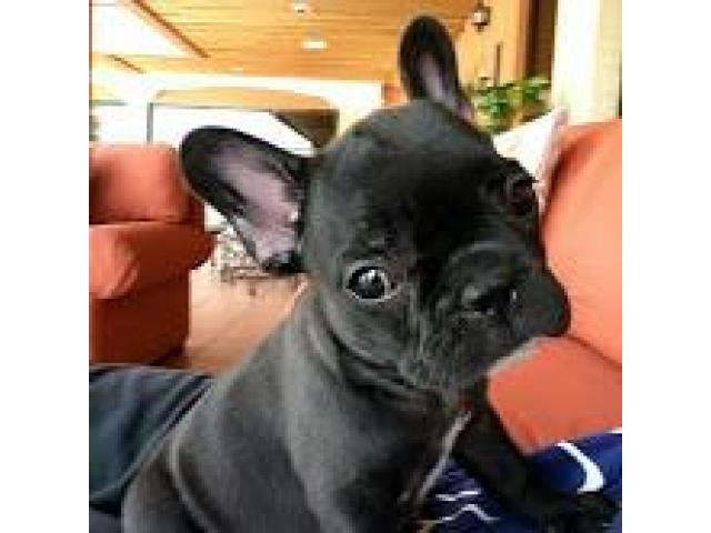 Adorabili cuccioli di Bulldog francese - 2 femmine e 2 maschi,
