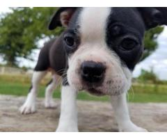 CUCCIOLI DI BOSTON TERRIER FEMMINA E MASCHIO