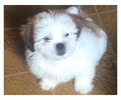 Simpatici cuccioli di Lhasa Apso disponibili