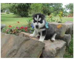 Abbiamo dei bellissimi cuccioli di Siberian Husky