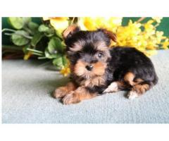 Cucciolo di Yorkie in vendita