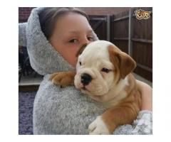 Bulldog inglese per adozione
