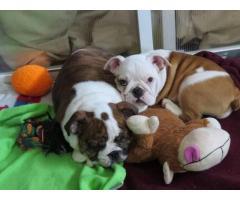 Bulldog inglese in vendita! Un ragazzo e una ragazza disponibili