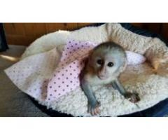 Scimmie cappuccina Disponibile per l'adozione