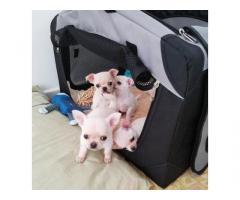 Regalo. Bellissimi cuccioli chihuahua per adozione