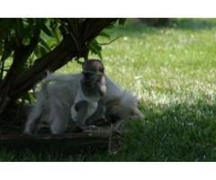 Meravigliosa scimmia cappuccina adorabile per adozione