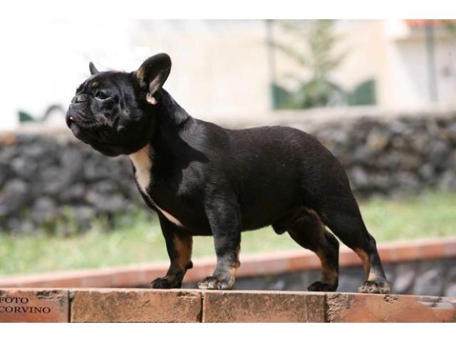 Bouledogue bulldog francese frenc black e tan