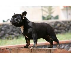 Bouledogue bulldog francese frenc black e tan