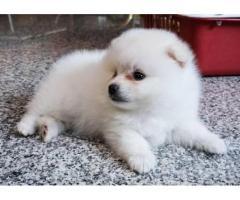 Cuccioli pomeranian per adozione