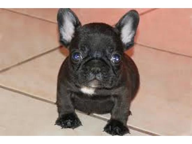 Adorabili cuccioli di Bulldog francese per l'adozione gratuita