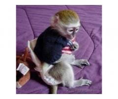 Scimmie cappuccini per adozione