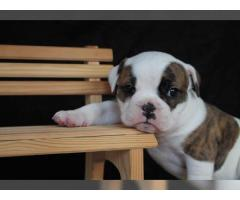 Vecchia donazione inglese del cucciolo del bulldog pronta il 22 marzo
