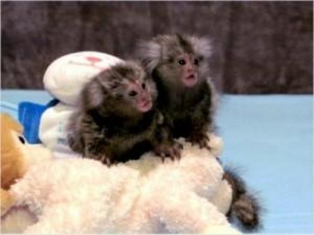 Affascinanti scimmie marmoset disponibili per l'adozione