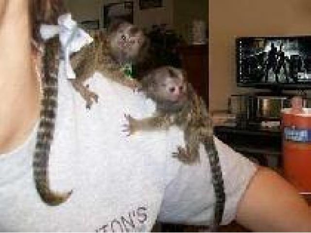 Scimmie Marmoset
